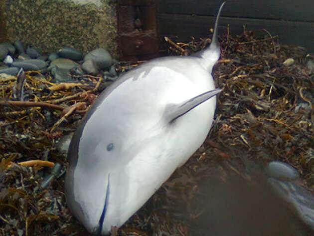 Harbor porpoise calves exposed to neurotoxic PCBs in mothers' milk