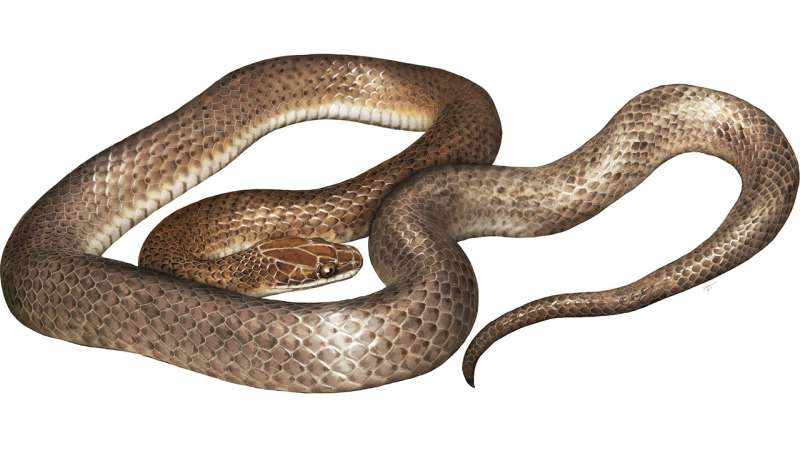 Herpetologists describe new species of snake found in stomach of predator snake
