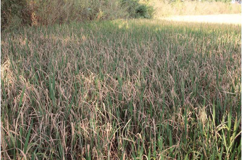 HHU-led research consortium wants to eliminate dangerous plant diseases in rice