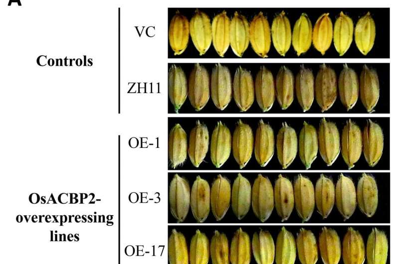 HKU plant scientists identify new strategy to enhance rice grain yield