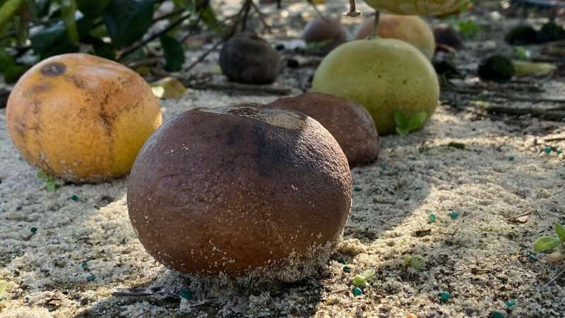 HLB-infected citrus fruit at a University of Florida research orchard in Fort Pierce