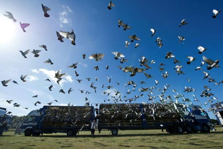 Homing pigeons are raced by releasing them sometimes hundreds of kilometres from home, with the first back home winning