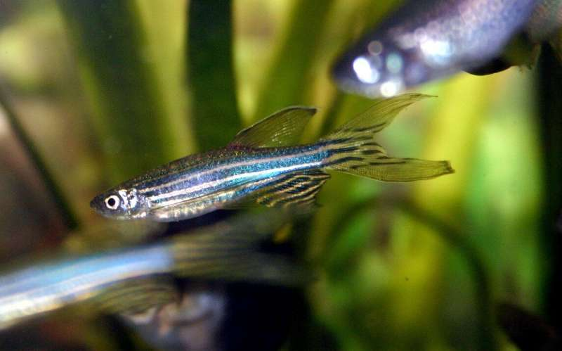 How a zebrafish could help solve the mysteries of genetic brain disease
