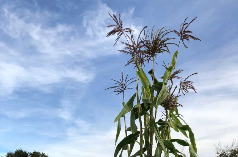 How corn's ancient ancestor swipes left on crossbreeding
