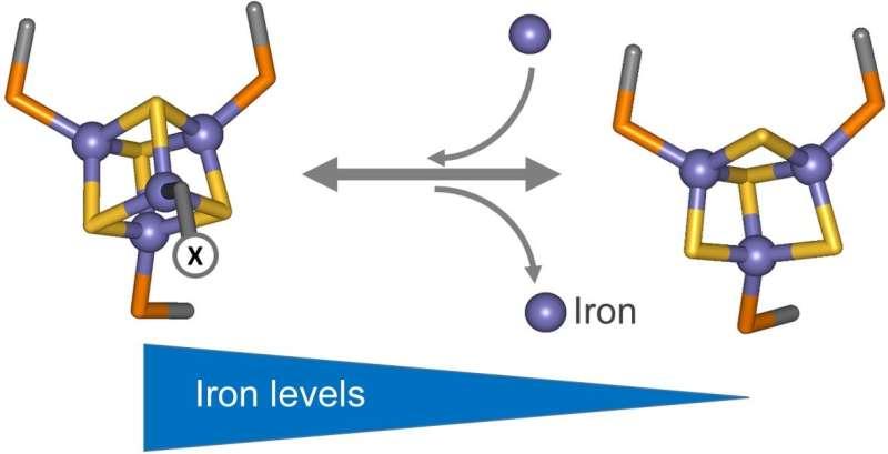 How nitrogen-fixing bacteria sense iron