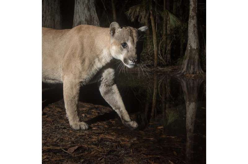 How the Texas puma saved the Florida panther