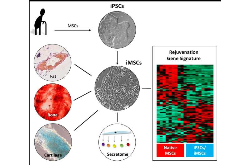 Human iPSC-derived MSCs from aged individuals acquire a rejuvenation signature
