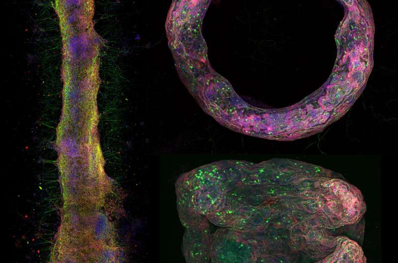 Illinois team develops first of a kind in-vitro 3D neural tissue model