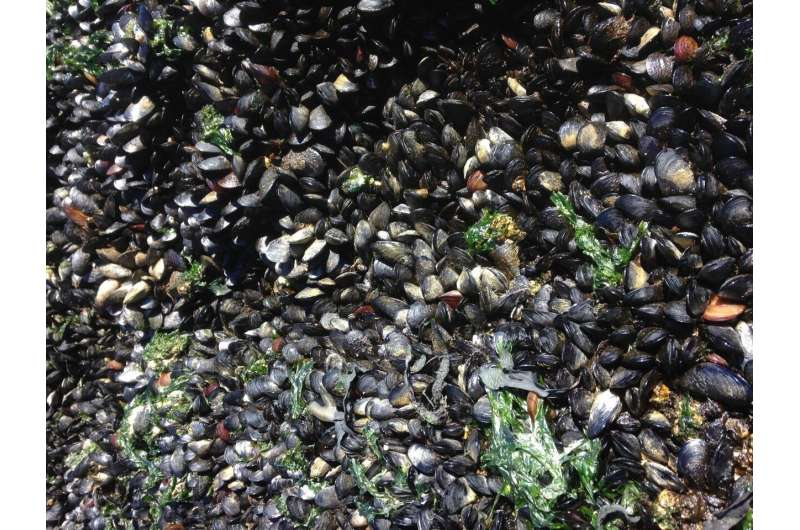 Infectious cancer in mussels spread across the Atlantic