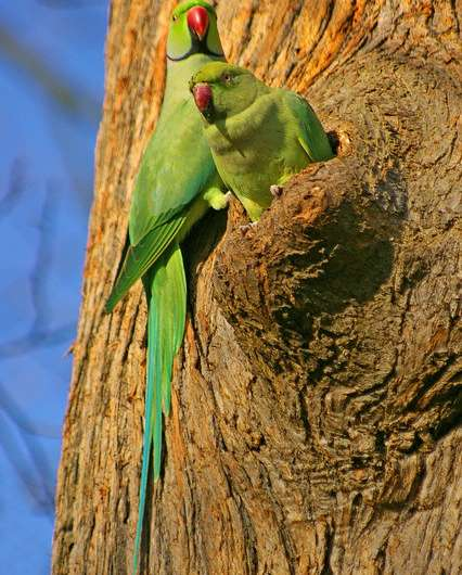 Invasive parrots have varying impacts on European biodiversity, citizens and economy