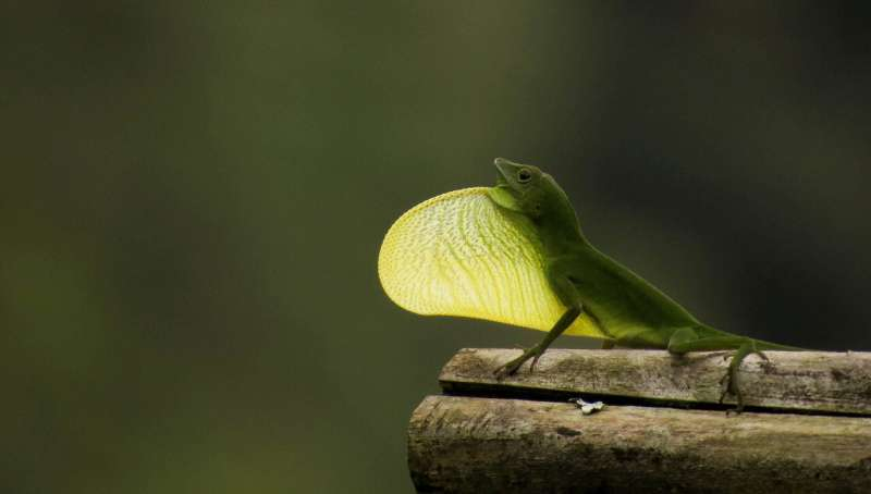 Island lizards are expert sunbathers, and researchers find it's slowing their evolution