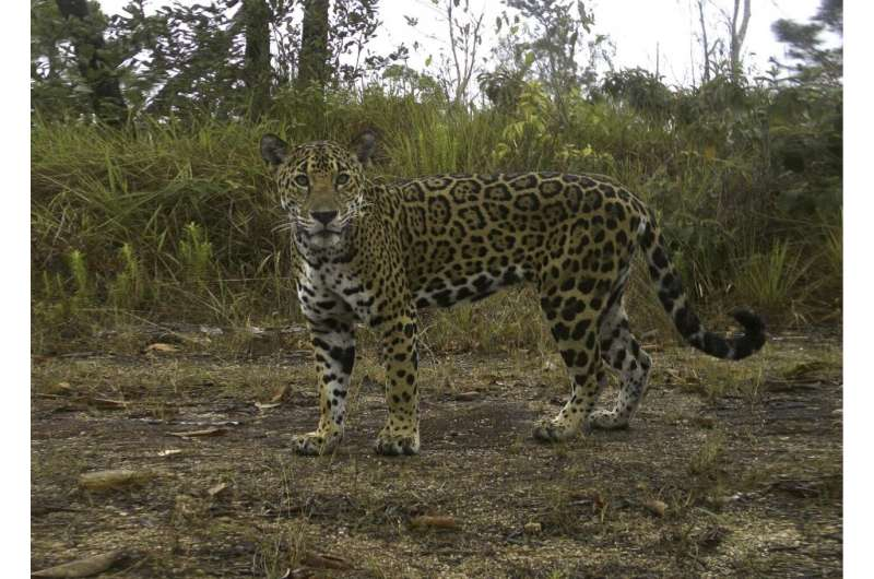 Isotopes in poop show where secretive jaguars hunt