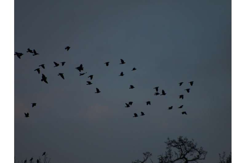 Jackdaw mobs flip from chaos to order as they grow