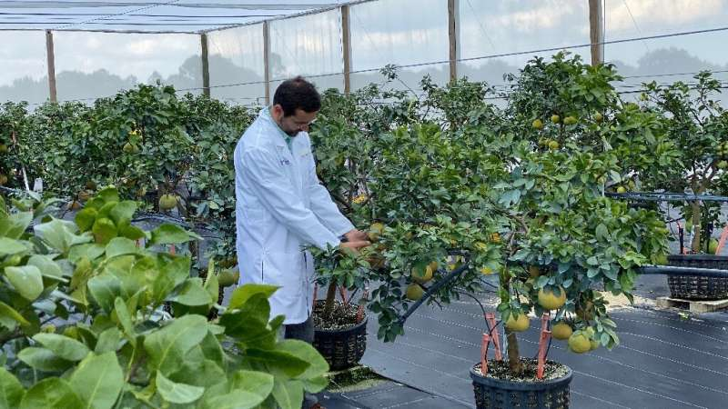 Johnny Ferrarezi is one of the University of Florida researchers trying to find a solution to the HLB blight