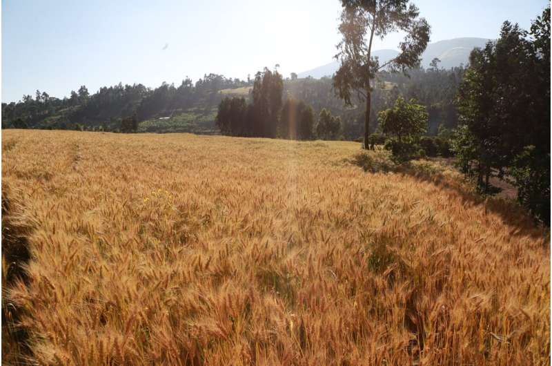 Large-scale genomics will improve the yield, climate resilience and quality of wheat, new study shows