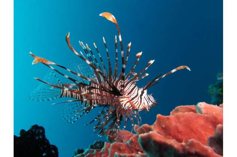 Lionfish ear-bones reveal a more mobile invasion