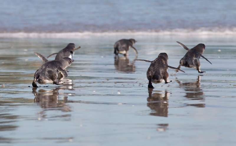 Little blue penguins, also known as fairy penguins, are native to New Zealand but are listed as at-risk as development encroache