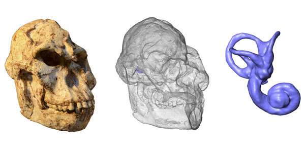 Little Foots inner ear sheds light on her movement and behaviour09/01/2019MicroCT scans of the 3.67-million-year-old Aust