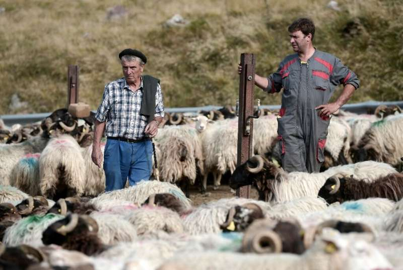 Livestock farmers and herders have protested the reintroduction of brown bears in the Pyrenees saying the predators menance thei
