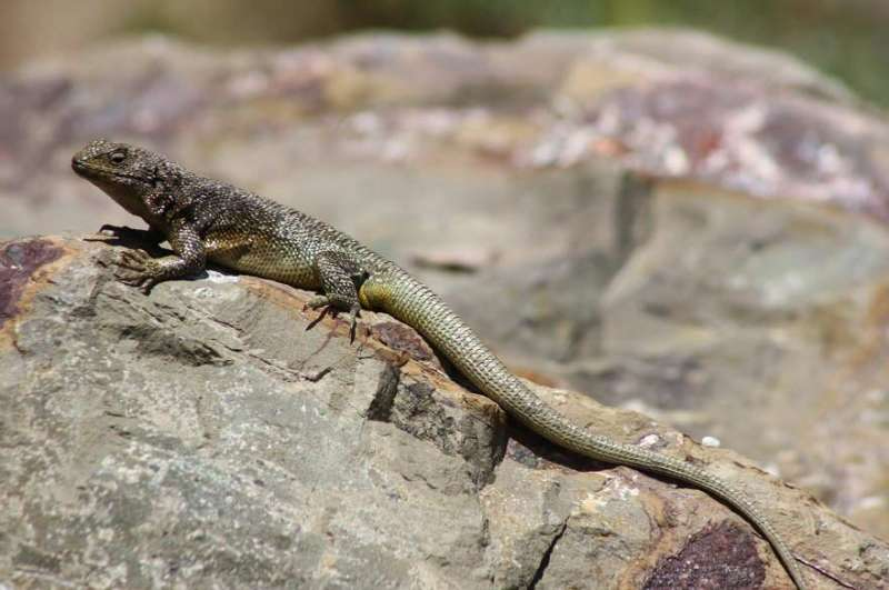 Lizards from cold climates may face rapid extinctions in next 60 years, study shows