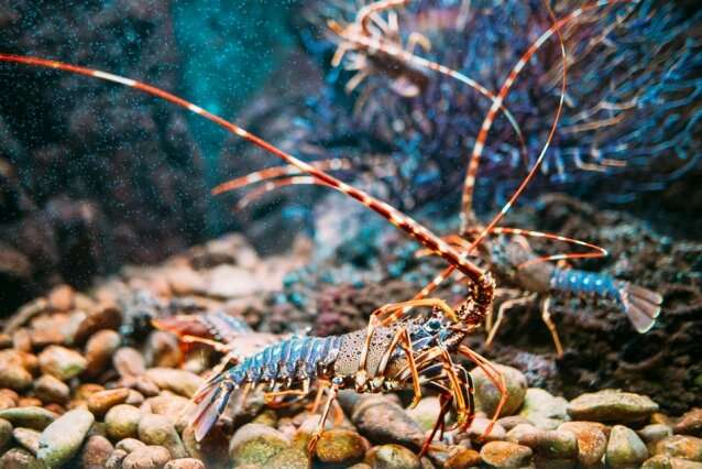 Lobster's underbelly is as tough as industrial rubber