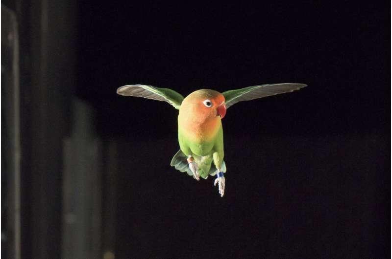 Lovebirds ace maneuvers in the dark
