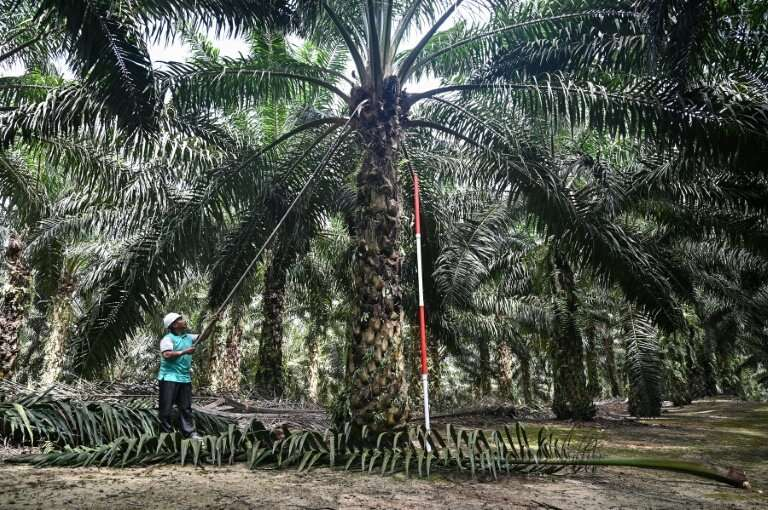 Malaysia is running a breeding programme for dwarf palm oil trees which scientists hope will cut costs and limit environmental d
