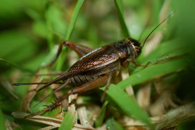 Male crickets losing ability to sing, despite reproductive advantage of singing
