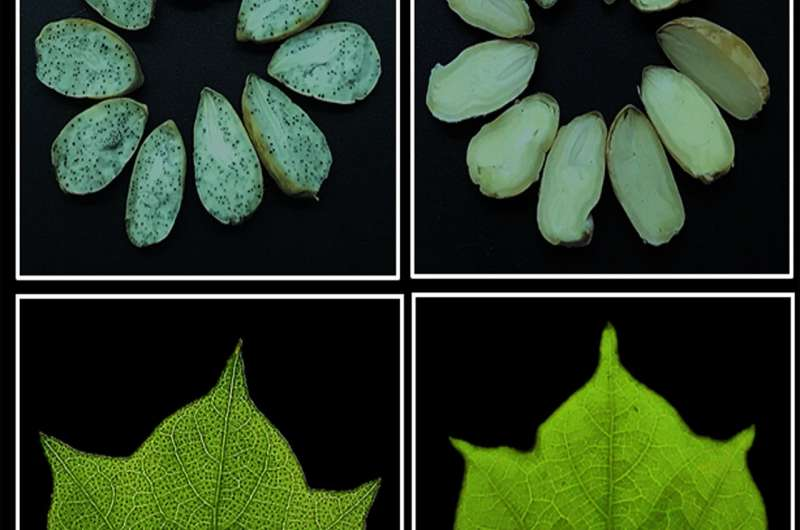 Manipulation of gossypol-containing glands in cotton can boost plant's natural defenses