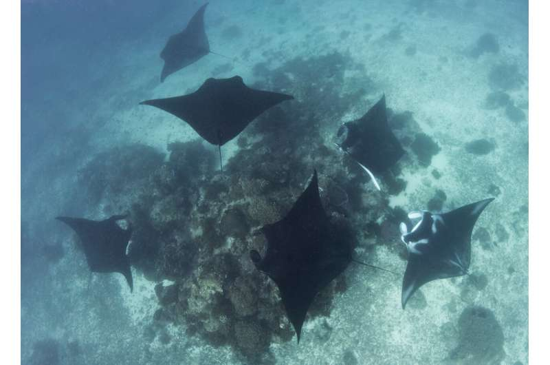 Manta rays form social bonds with each other