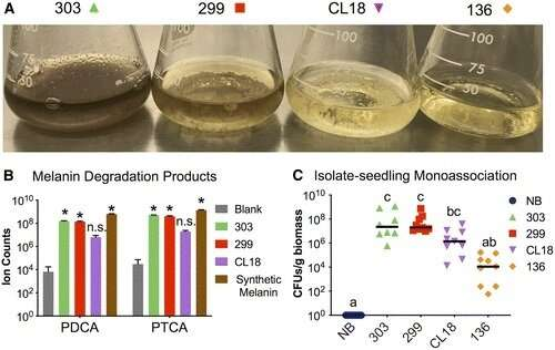 Melanin-producing Streptomyces are more likely to colonize plants