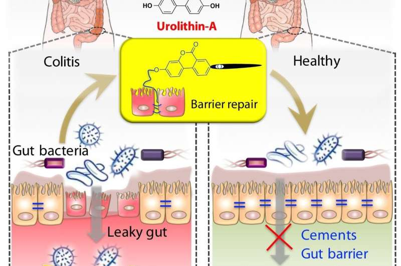 Metabolite produced by gut microbiota from pomegranates reduces inflammatory bowel disease