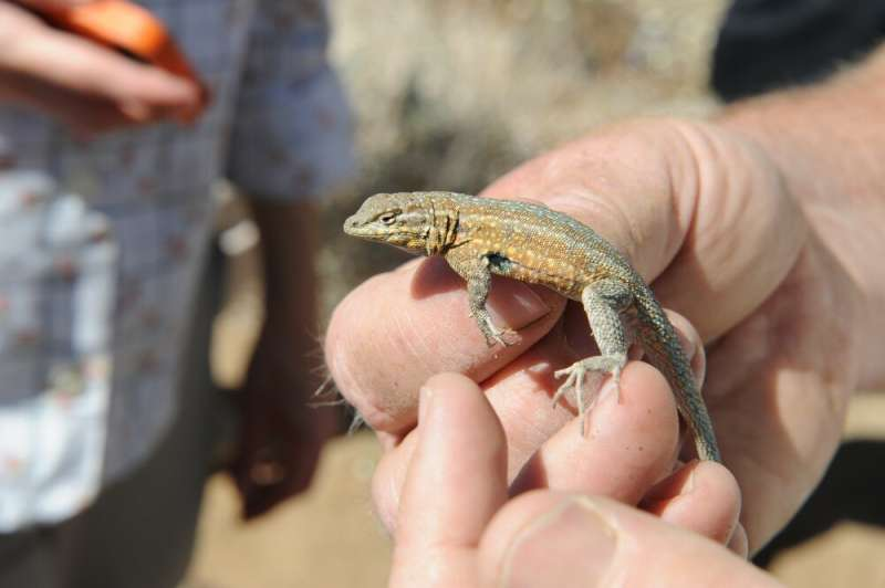 Method assesses health and size of lizard populations