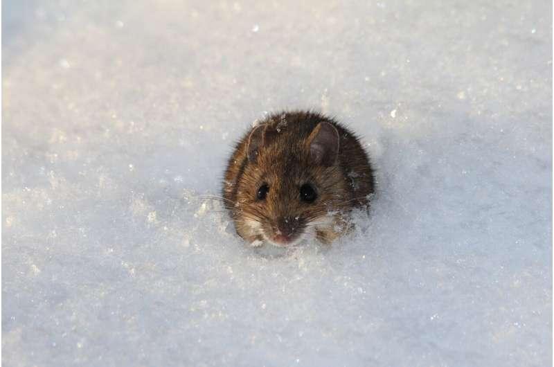 mice cold