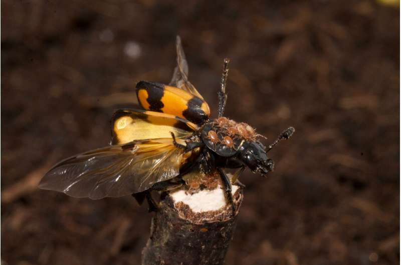 Mighty mites give scrawny beetles the edge over bigger rivals