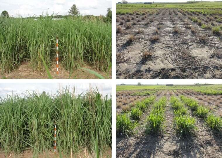 Miscanthus with improved winter-hardiness could benefit northern growers