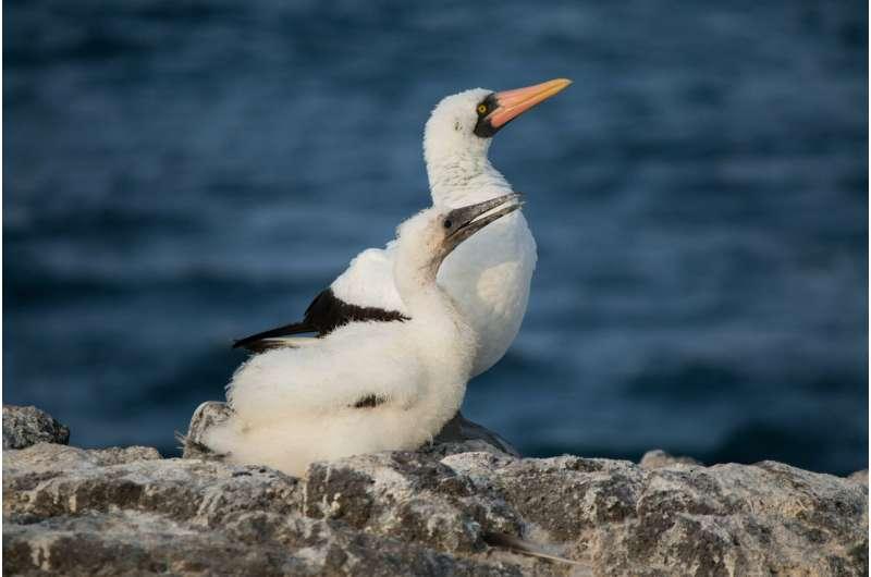 Mom's reward: Female Galápagos seabird has a shorter lifespan than males