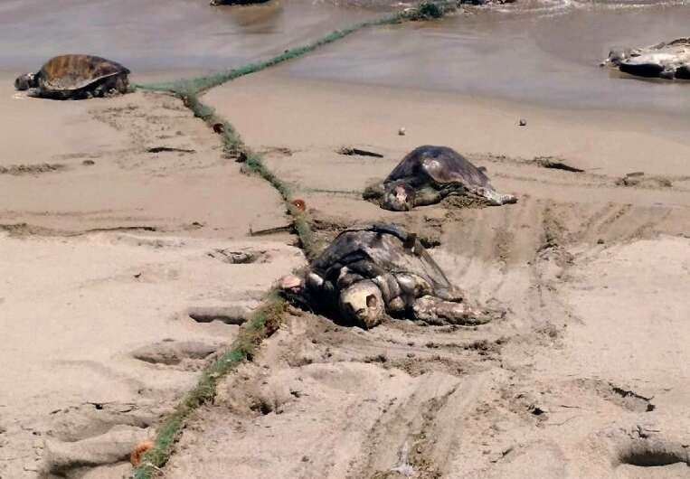 More than 300 endangered sea turtles were killed in a single incident last year after swimming into a what was believed to be a