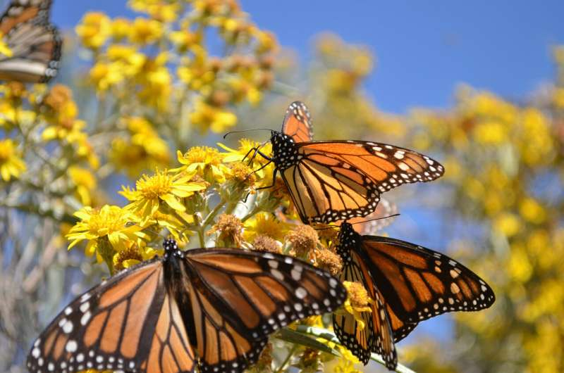 Mowing for monarchs