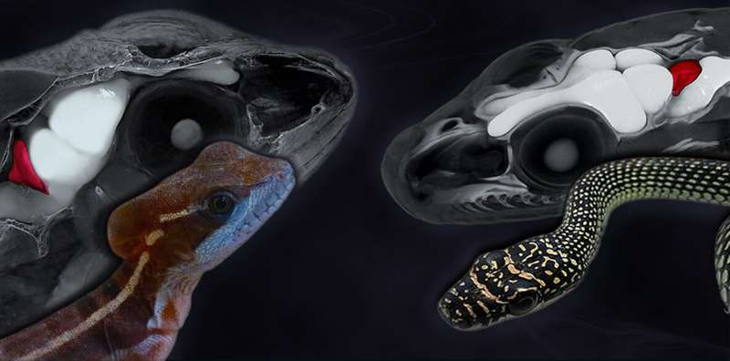 Multiple correlations between brain complexity and locomotion pattern in vertebrates