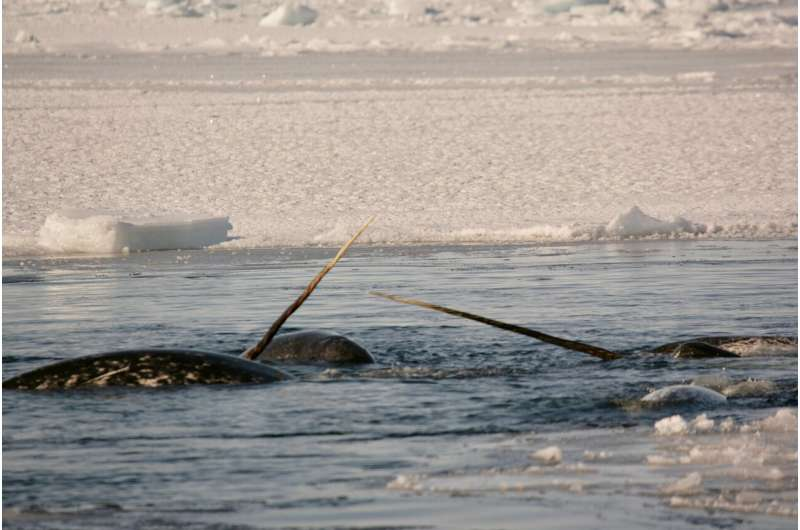Narwhals have endured a million years with low genetic diversity, and they're thriving