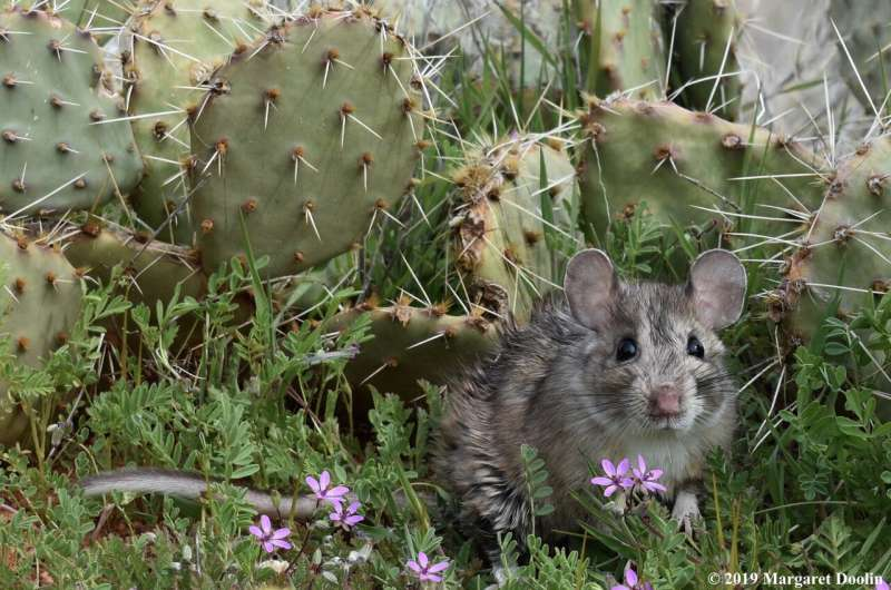Native foods are key to preserving rodent gut bacteria in captivity