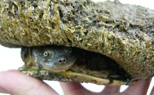 Native turtles face extinction in South Australia, according to report