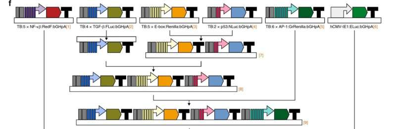 New assay assesses multiple cellular pathways at once