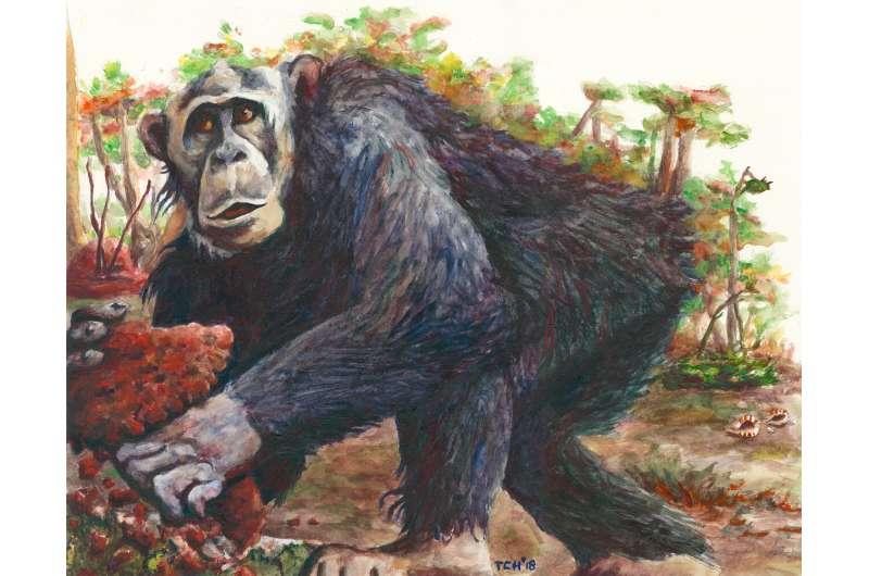New chimpanzee culture discovered