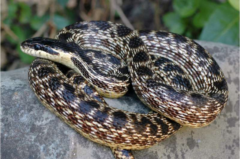 New snake species in Europe named after a long-forgotten Iron Age kingdom