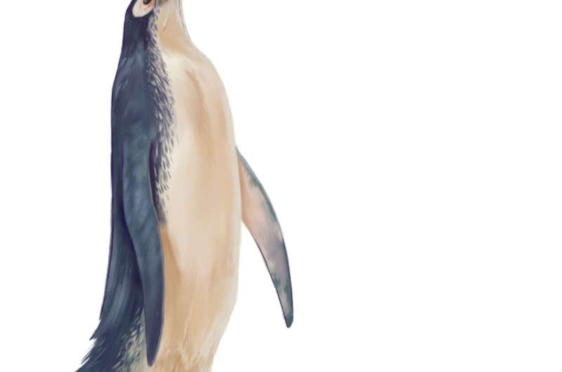 New sphenisciform fossil further resolves bauplan of extinct giant penguins