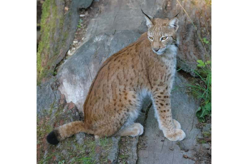 New study models the proposed reintroduction of the Eurasian lynx to Scotland