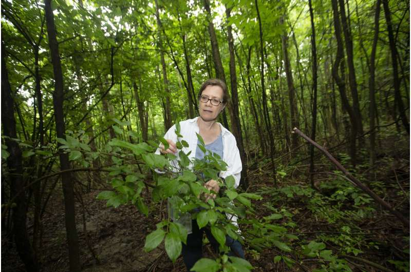 Nonnative pear trees are showing up in US forests