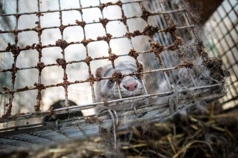 Norway is due this month to adopt new legislation immediately banning any new fur farms and requiring existing ones to be disman